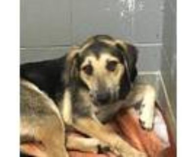 Adopt 48237289 a Black Shepherd (Unknown Type) / Mixed dog in Los Lunas