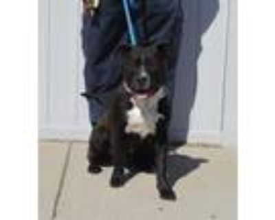 Adopt HULAHOOP a Black - with White American Pit Bull Terrier / Mixed dog in