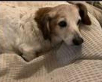 Adopt Pato a Dachshund, Beagle