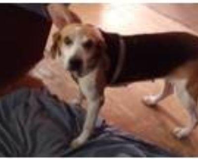 Adopt Norma a Beagle, Hound