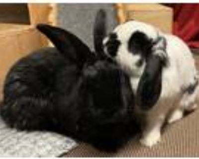 Adopt Sweet Caroline a White Other/Unknown (short coat) rabbit in Woburn