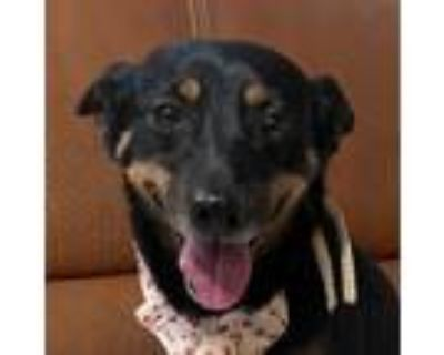Adopt Peggy Carter a Black - with Tan, Yellow or Fawn Jindo / Dachshund / Mixed
