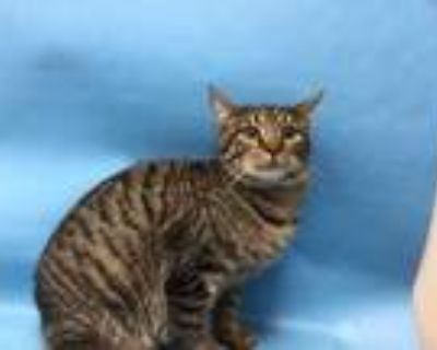 Adopt Moltres a Brown or Chocolate Domestic Shorthair / Mixed cat in Woodbury