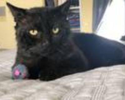 Adopt Arnold a Domestic Short Hair, American Shorthair