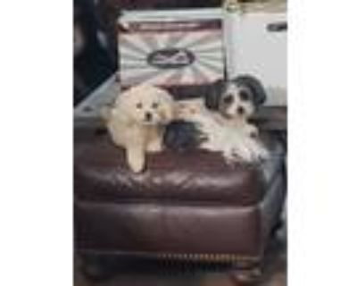 Adopt Leo a White Miniature Poodle / Mixed dog in Prince William County