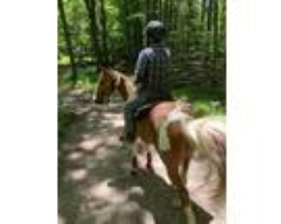 Beautiful Rich Tobiano Seasoned Tennessee Walker Trail Gelding