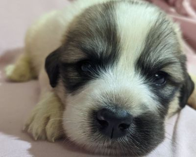 AKC Great Pyrenees Puppies