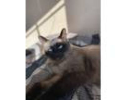Adopt Leilu a Brown or Chocolate (Mostly) Siamese / Mixed (medium coat) cat in