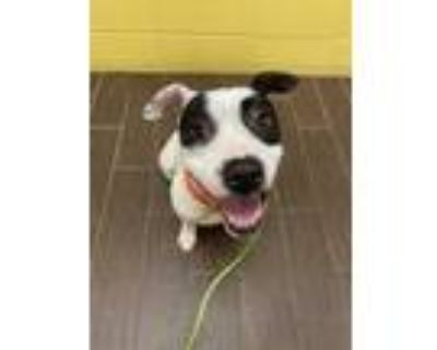 Adopt Rosa a White American Pit Bull Terrier / Mixed dog in Fort Worth