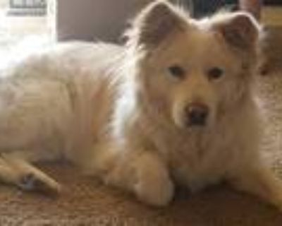 Adopt Lacey a Black - with Brown, Red, Golden, Orange or Chestnut American