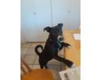 Adopt Georgette a Black - with White Australian Cattle Dog / Terrier (Unknown