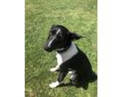 Adopt FOXY a Black - with White Border Collie / Rat Terrier / Mixed dog in