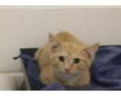 Adopt DONUT a Orange or Red Tabby Domestic Shorthair / Mixed (short coat) cat in