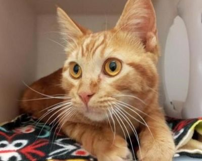 Male Domestic Short Hair named Goldfish available for adoption