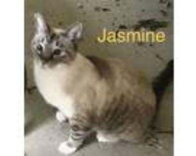 Adopt Jasmine a Gray, Blue or Silver Tabby Domestic Shorthair / Mixed (short
