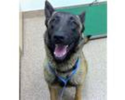 Adopt WOODY a Tan/Yellow/Fawn - with Black Belgian Malinois / Mixed dog in