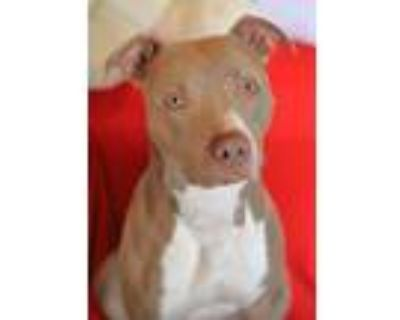 Adopt Gizmo a Pit Bull Terrier, Mixed Breed