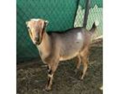 Goats & Lamb, Goat For Adoption In Apple Valley, California