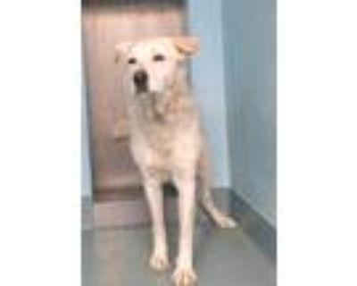 Adopt GHOST a White Labrador Retriever / Mixed dog in Baldwin Park