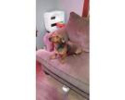 Adopt Buddy Boy a Red/Golden/Orange/Chestnut Dachshund / Mixed dog in Grand Bay