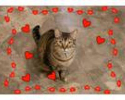 Adopt Tabitha a Brown Tabby Domestic Shorthair (short coat) cat in Houston