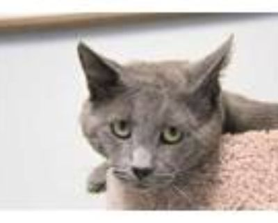 Adopt Sloan a Gray or Blue Domestic Shorthair / Domestic Shorthair / Mixed cat