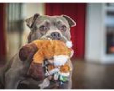Ollie, Pit Bull Terrier For Adoption In Woodland Hills, California