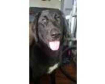 Adopt Bindi a Black - with White Great Pyrenees / Catahoula Leopard Dog / Mixed