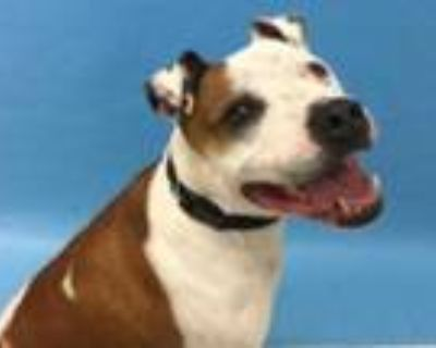 Adopt Bolo a Brown/Chocolate American Pit Bull Terrier / Mixed dog in Woodbury