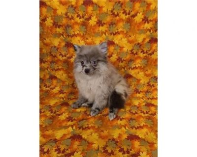 Pomeranian- Bruce- Male