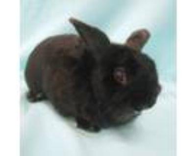 Adopt Lorenzo a Bunny Rabbit
