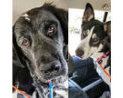 Adopt Johnny and Moira a English Setter