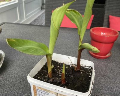 3 canna s (red flower)