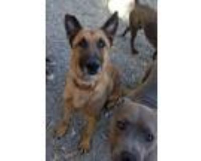 Adopt Mango - LA a Tan/Yellow/Fawn - with Black Belgian Malinois / Mixed dog in