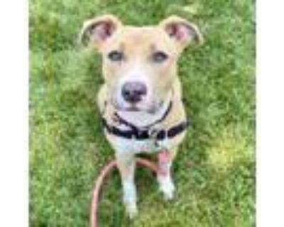 Adopt Willow a Tan/Yellow/Fawn American Pit Bull Terrier / Mixed dog in