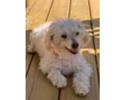 Adopt Topher a Poodle