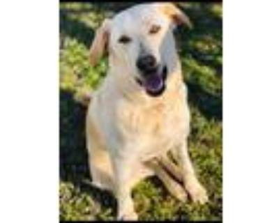 Adopt Nala a Tan/Yellow/Fawn Labrador Retriever / Great Pyrenees / Mixed dog in
