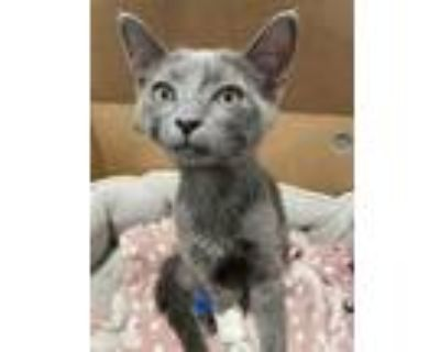 Adopt *FRITZY a Gray or Blue Russian Blue / Mixed (short coat) cat in Long