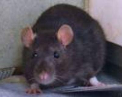 Adopt A0851248 a Rat