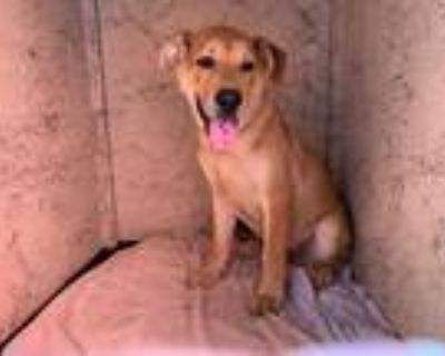Adopt CHARLIE a Brown/Chocolate - with Black German Shepherd Dog / Mixed dog in