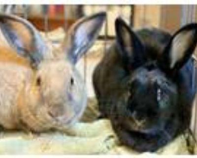 Adopt Zilpha a Bunny Rabbit