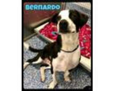 Adopt Bernardo - 2105145 / 2021 a Border Collie