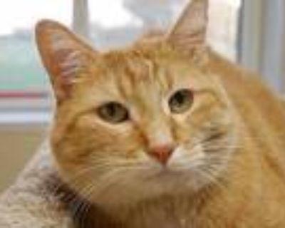 Mr. Jingles, Domestic Shorthair For Adoption In Austin, Minnesota