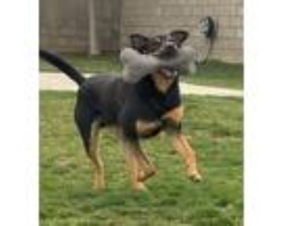 Adopt Arlo a Black - with Tan, Yellow or Fawn Cattle Dog / Shepherd (Unknown