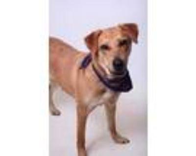 Adopt 21-017D Big Head a Tan/Yellow/Fawn Labrador Retriever / Mixed dog in