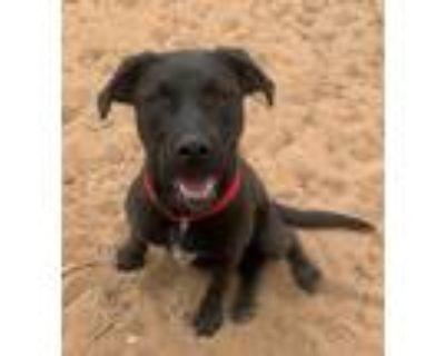 Adopt Zinnia a Chocolate Labrador Retriever
