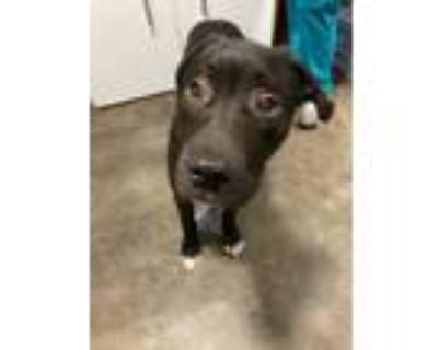 Adopt 47796855 Peep a Terrier, Pit Bull Terrier