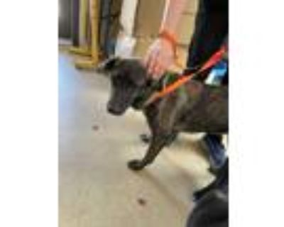 Adopt 48038529 a Black Retriever (Unknown Type) / Mixed dog in Fort Worth