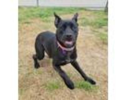 Adopt Donut a Black Terrier (Unknown Type, Small) / Retriever (Unknown Type) /