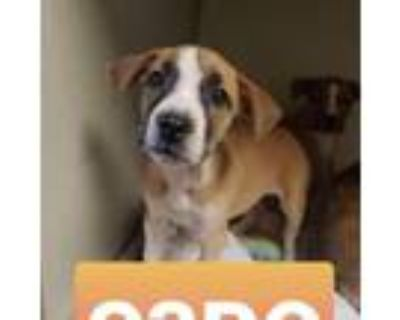 Adopt C3PO Force a Pit Bull Terrier